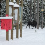 002-Moose-at-Trailhead-Tony-001