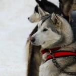 002-Resized_DSC_8221-Darby-Dogsled-Races