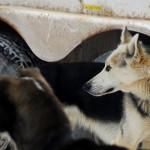 003-Resized_DSC_8185-Darby-Dogsled-Races
