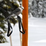 005-Copy-of-DSC_3292-Gray-Jay-on-Sk-Pole-013